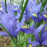 iris2