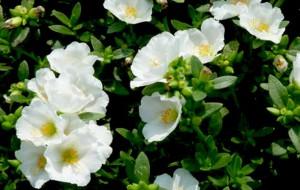 portulaca-white-plant